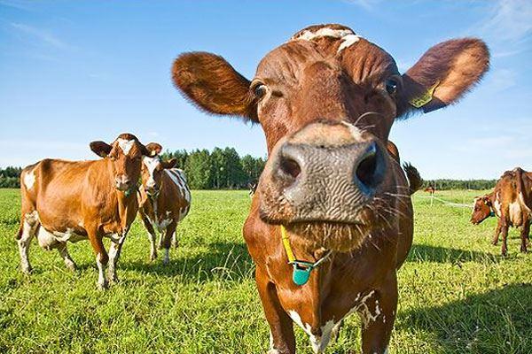 Valio Lehmä