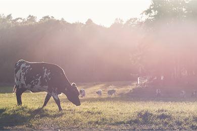 Laitumella lehmä on aidoimmillaan