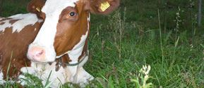 A healthy cow produces high quality milk