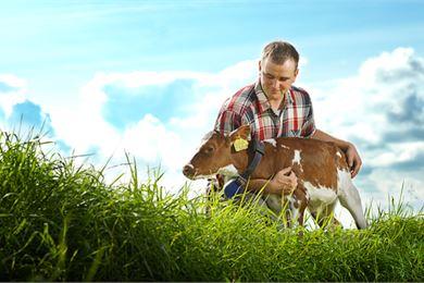 Hyvin hoidetusta vasikasta kasvaa hyvinvoiva lehmä