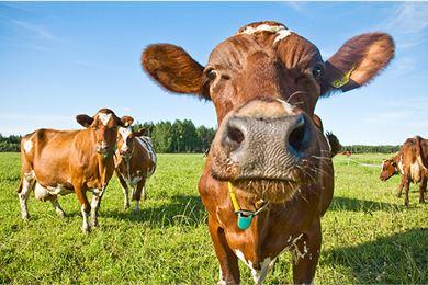 Kesällä lehmä saa ravintonsa laitumelta